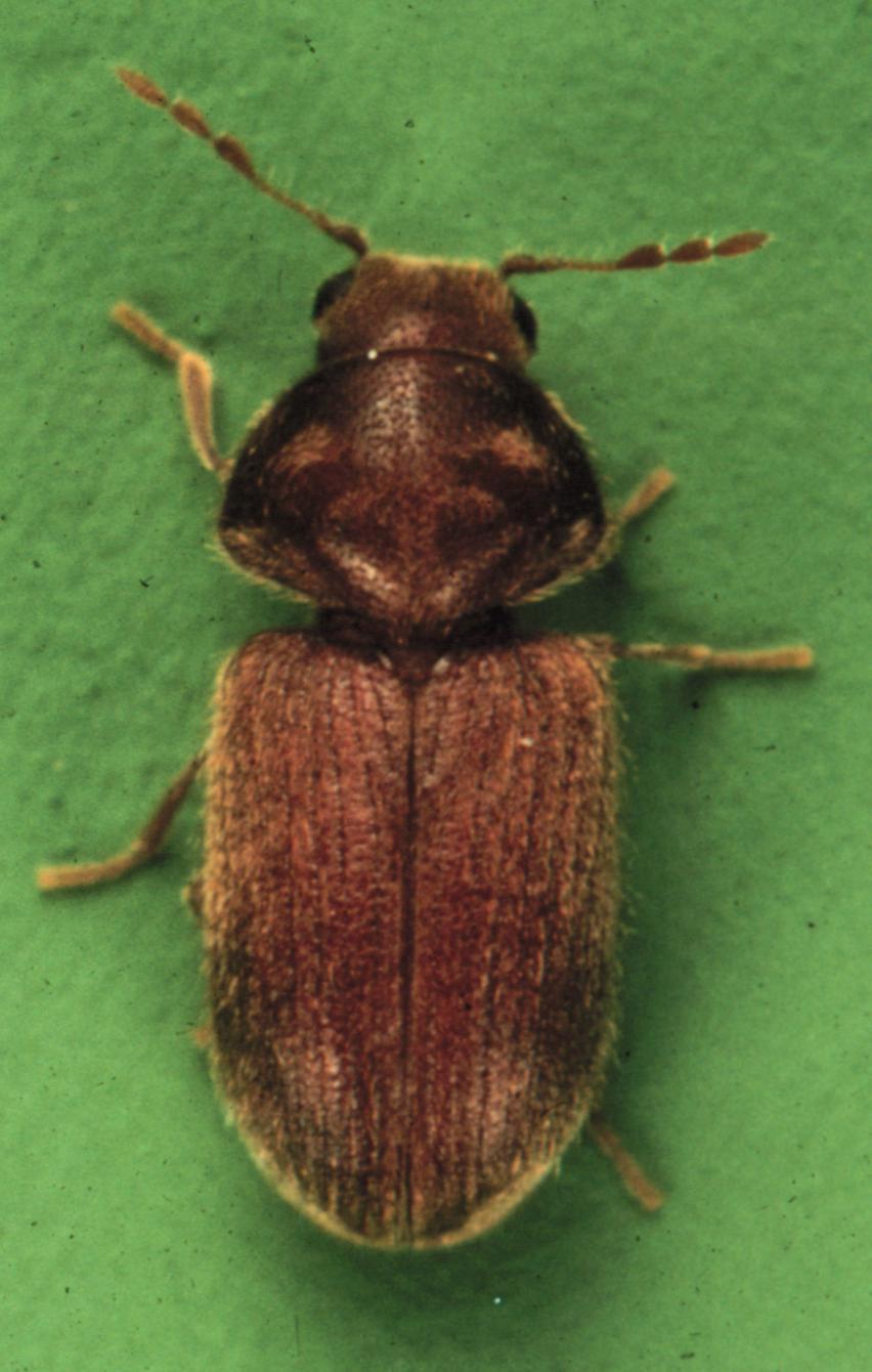 Whitefly Larvae Drugstore Beetle (Steg...